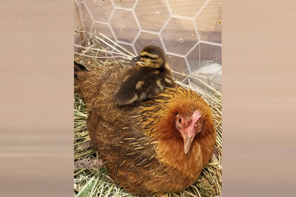 Das Entenküken mit seiner Pflegemutter.