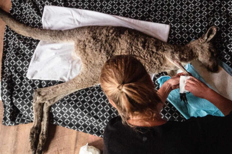 Eine Milliarde Tiere sterben bei Buschbränden in Australien: Zoos im Südwesten spenden