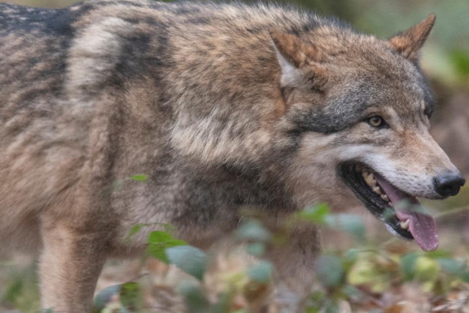 Reh gerissen: Es war ein Wolf!