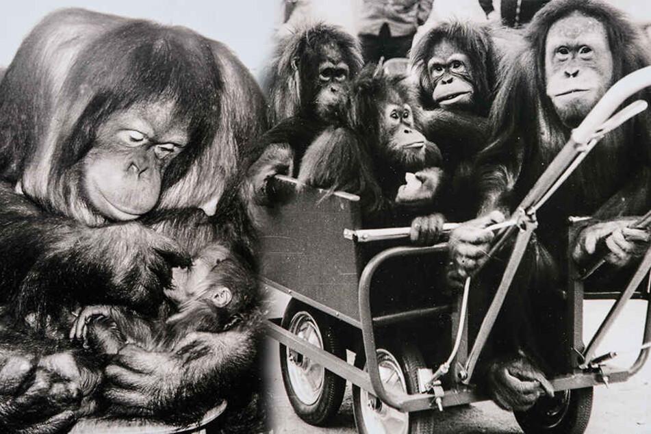 Affenmama Djaka mit ihrem ersten Nachwuchs Djuru. Rechts: 1975 fahren Djudi, Dalima, Djaka und Djambi (v.l.) im Kinderwagen durch den Zoo. (Bildmontage)