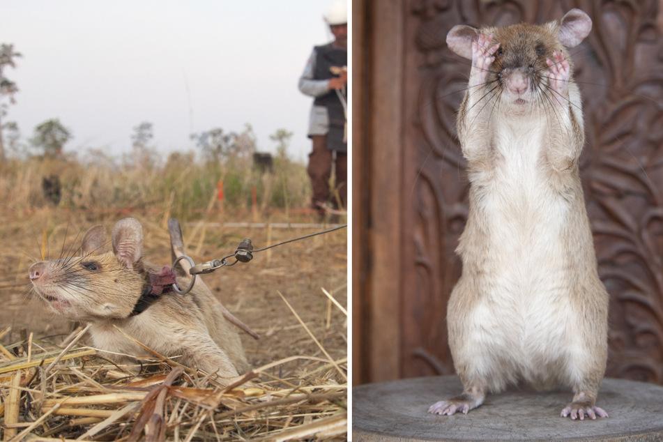 Links: Magawa wird während eines Einsatzes an der Leine geführt. Rechts: Die niedliche Spürratte steht auf ihren Hinterbeinen.