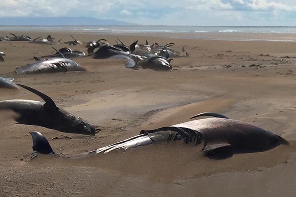 Grausamer Kampf um ihr Leben: Wieder Wale an Strand verendet