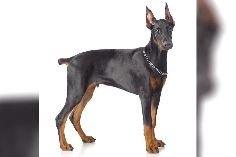 Der Hund gehört der Rasse Dobermann an. (Symbolbild)