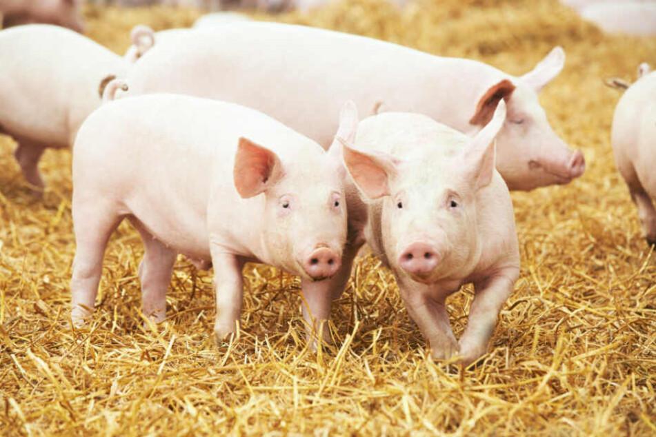 Ihre brutalen Experimente mit 15 Schweinen machten die Forscher auch noch ganz nonchalant in einem Fachmagazin publik. (Symbolbild)