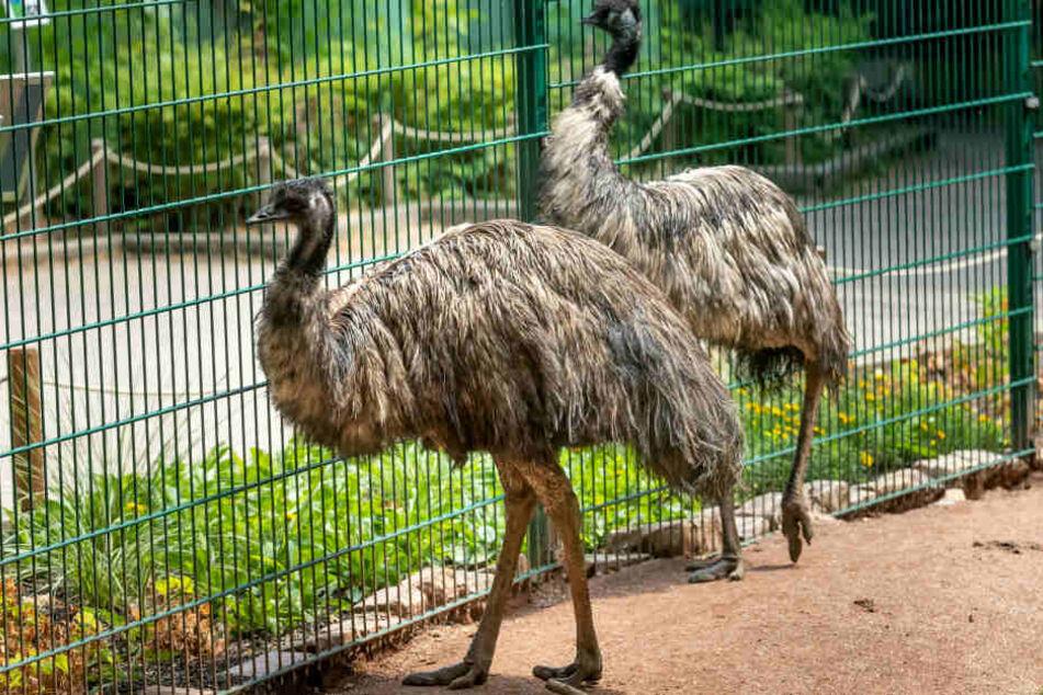 Oft wird bei Laufvögeln wie den Emus gleichgeschlechtliche Liebe beobachtet.