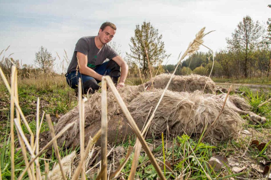 Schäfer Felix Wagner von der Naturschutzstation Förstgen verlor 2018 Dutzende Tiere nach einer Wolfsattacke.