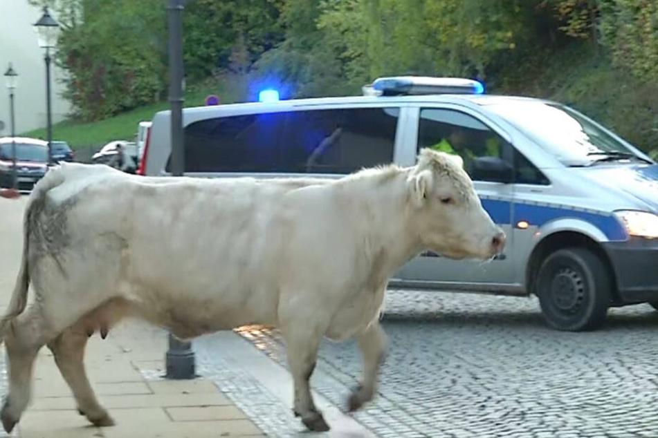 Zunächst umzingelt, lste sich die Kuh wieder aus der Umklammerung der Beamten und setzte ihre Flucht fort