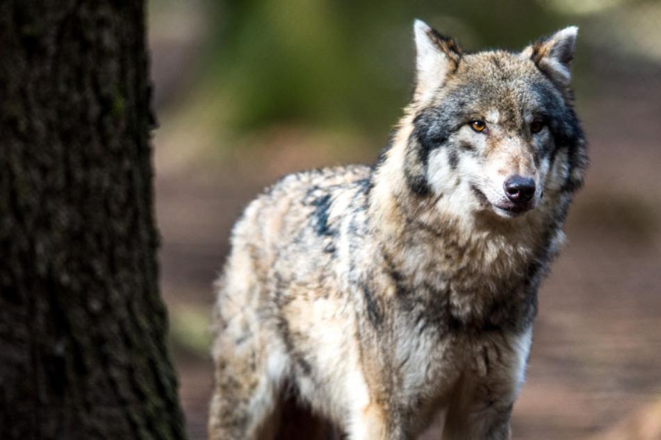 In Thüringen gibt es nur eine Wölfin. (Symbolbild)