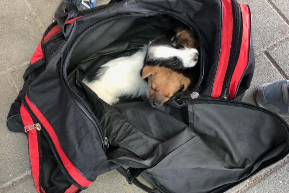 Die Hundewelpen sitzen eingepfercht in der Sporttasche.