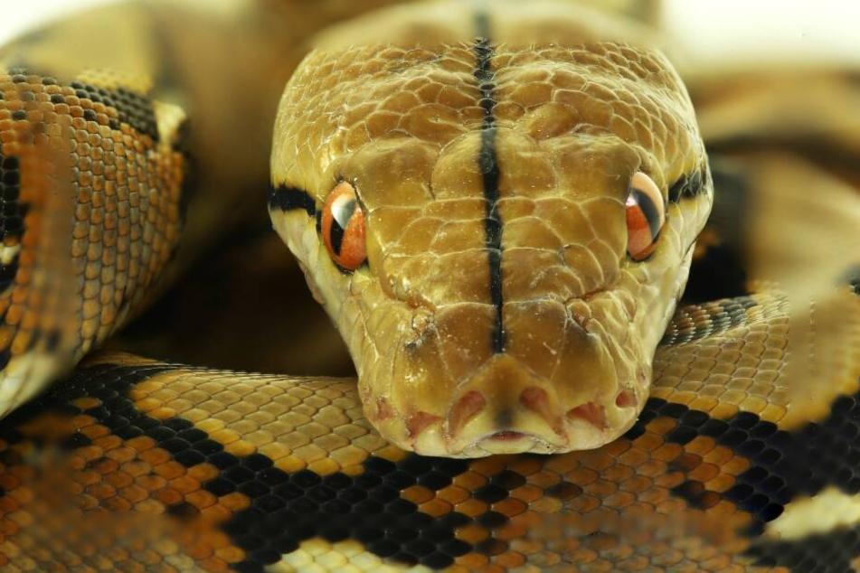 Die Frau wurde von einem Python überrascht. (Symbolbild)