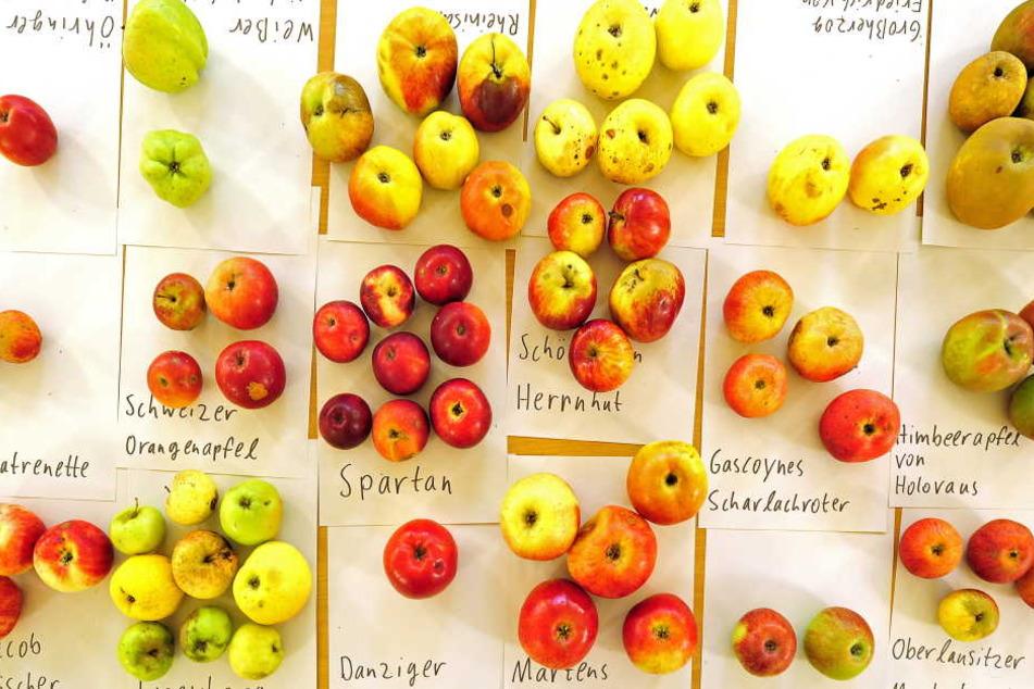 Mega-Projekt! In Chemnitz werden 4000 Apfelbäume gepflanzt