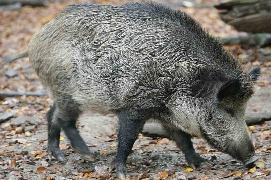 Durch die Jagd soll der hohen Wildschweinpopulation entgegengewirkt werden (Symbolbild).