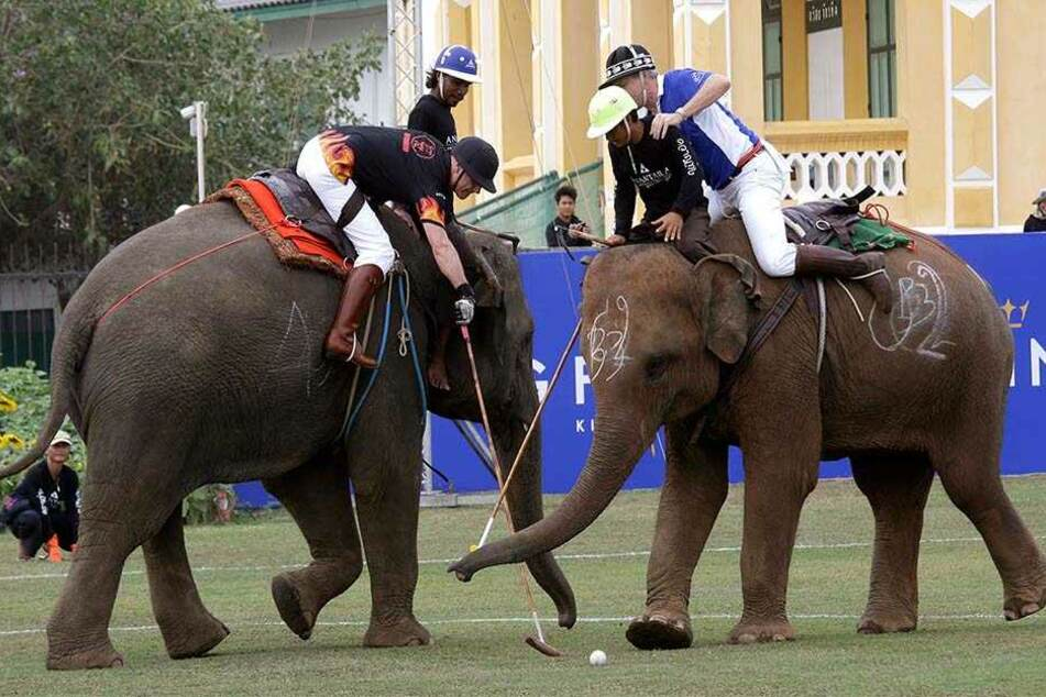 Bei dem Turnier waren insgesamt 20 Haus-Elefanten dabei, die domestiziert aufwuchsen. In Thailand leben etwa 4700 solcher Haus-Elefanten sowie etwa 4000 wilde Elefanten.