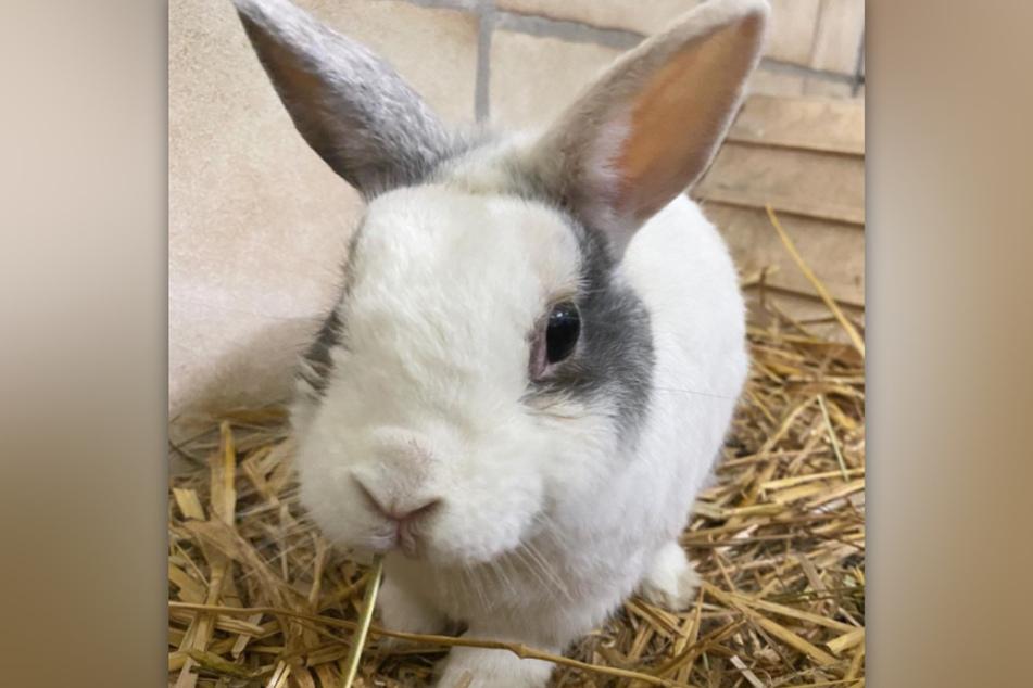 Kaninchen Basti ist im Tierheim Köln-Dellbrück gestrandet und sucht ein liebevolles Zuhause.