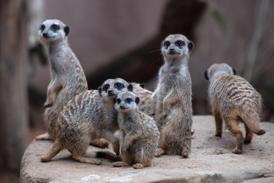 Die Erdmännchen im Zoo von Hannover werden im November nicht viele Besucher zu Gesicht bekommen.