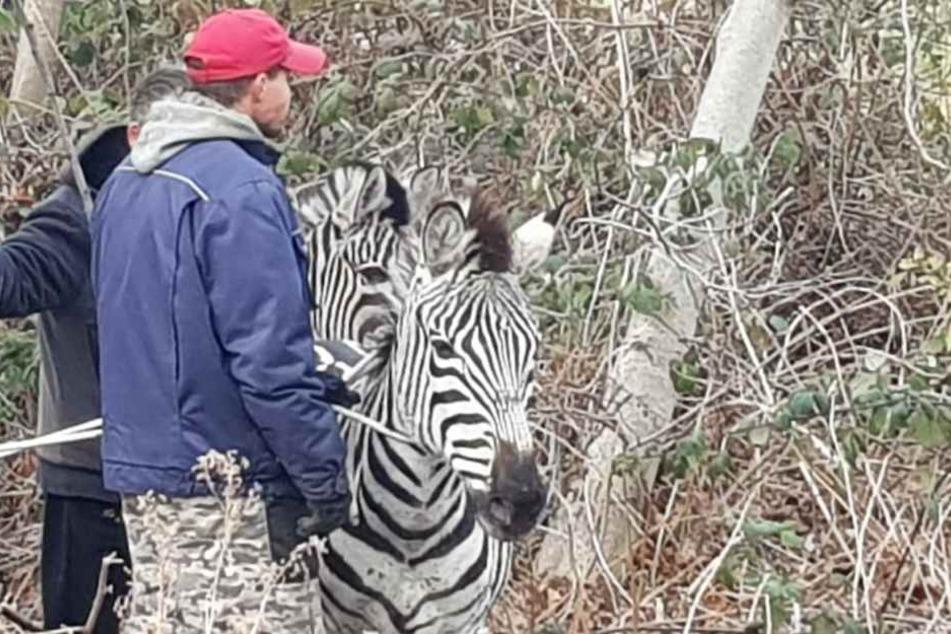 Die Zebras warteten auf ihren Abtransport.