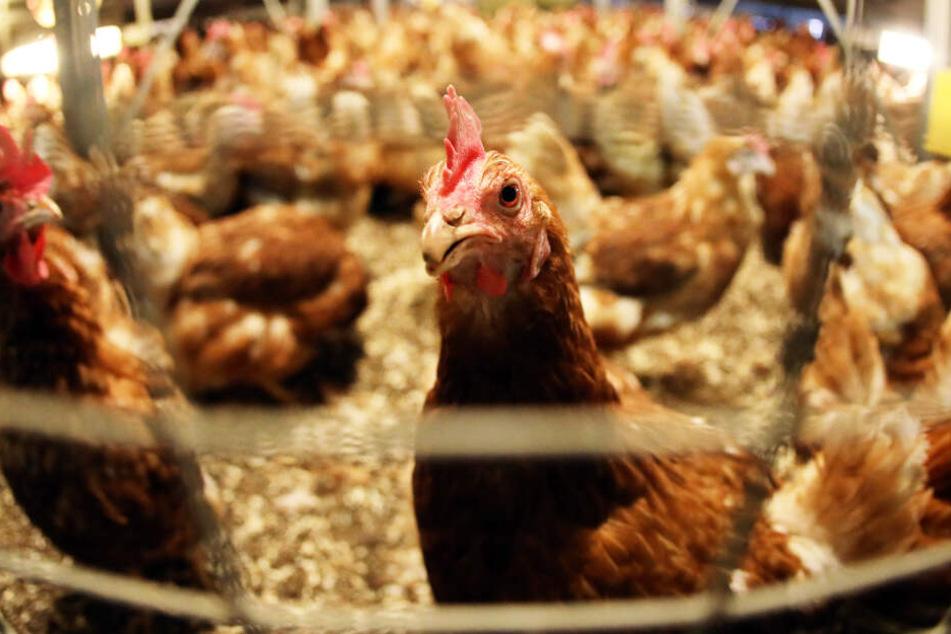 27.000 Hühner müssen nun vorzeitig ihr Leben verlieren (Symbolbild).