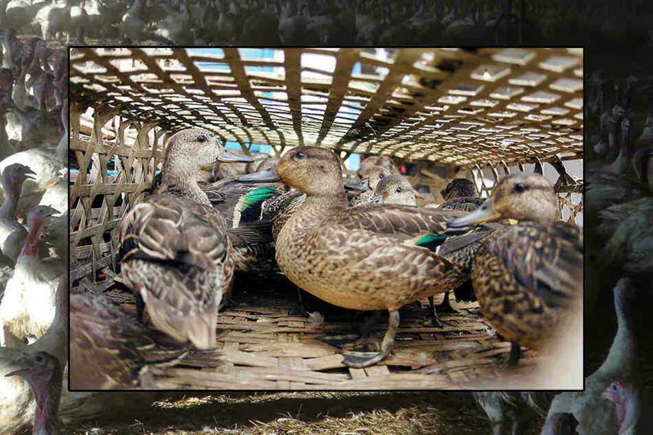In den Niederlanden müssen 190.000 Enten getötet werden.