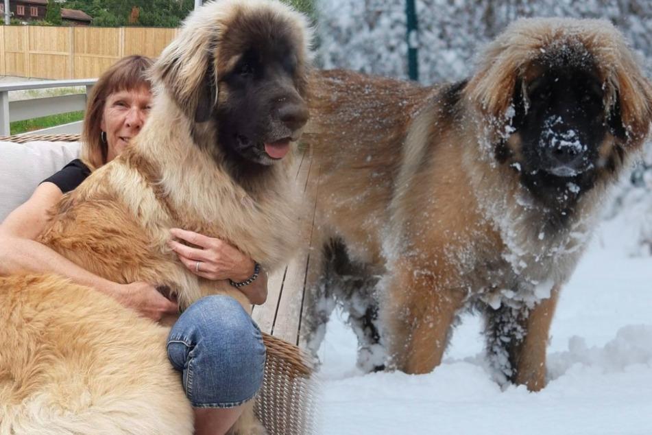 Runny ist einfach ein riesiger Hund und kein Bär.