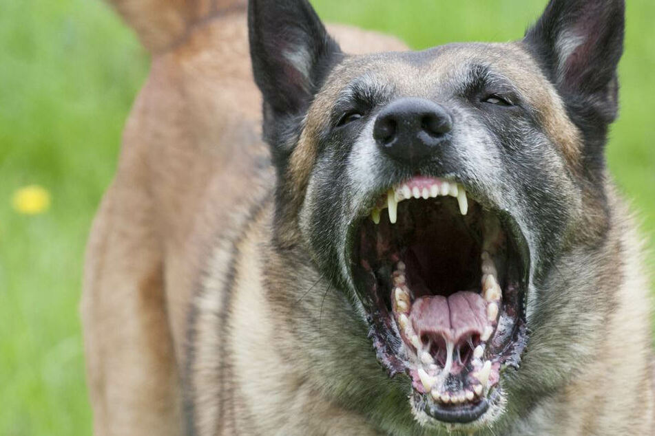 Mit einem unglaublichen Einsatz verjagte der Hund den Mann. (Symbolbild)