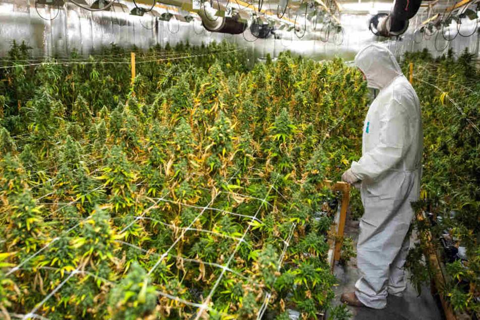 Die Polizei und der Zoll stellten rund 2000 Pflanzen sicher. (Symbolbild)