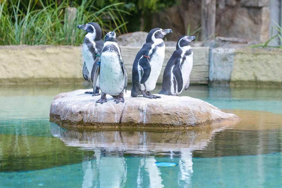 Die Pinguine im Dresdner Zoo scheinen mit einem Fluch belegt zu sein.
