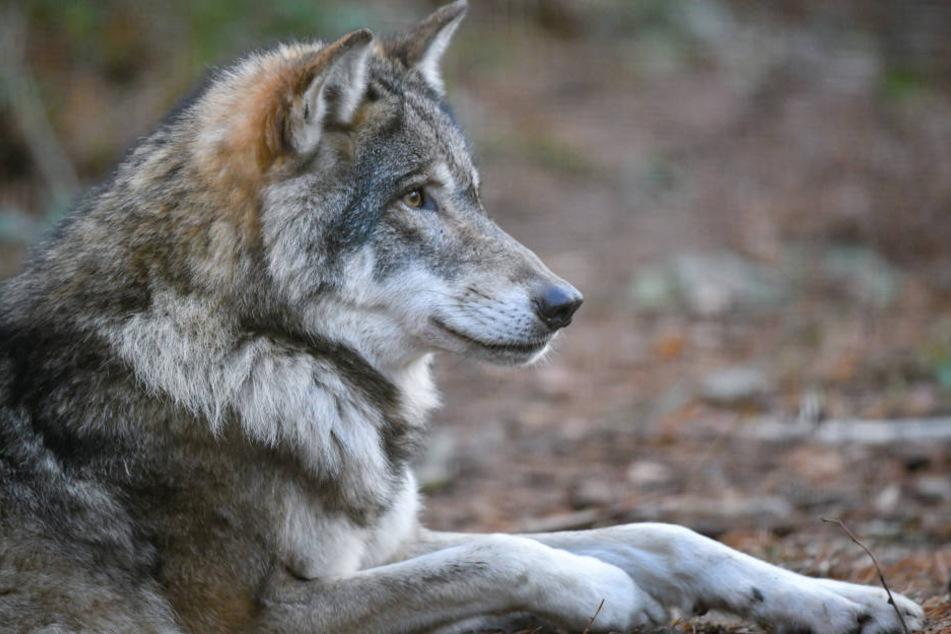 Die Regierung erlaub in bestimmten Fällen auch den Abschuss von Wölfen. (Archivbild)