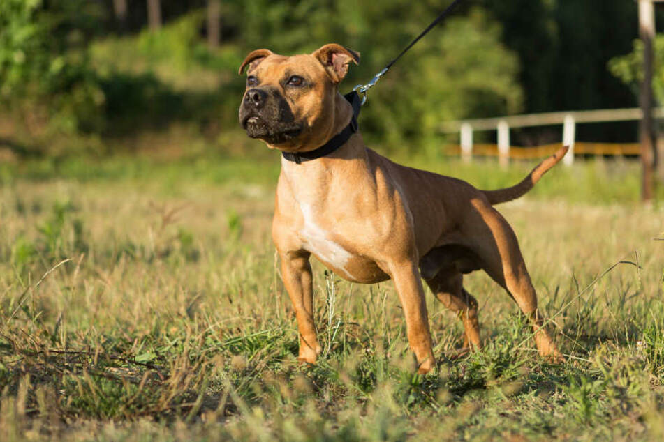 Ein Staffordshire-Terrier-Mischling hat zwei Menschen getötet