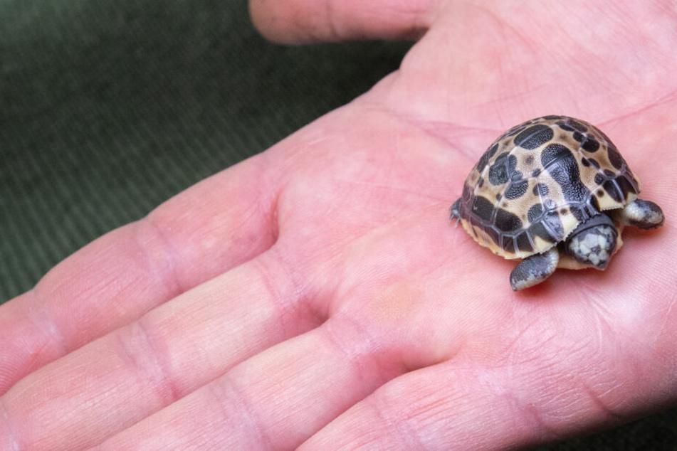 Tierisch niedlich! Seltene Mini-Schildkröte im Zoo Hannover geschlüpft