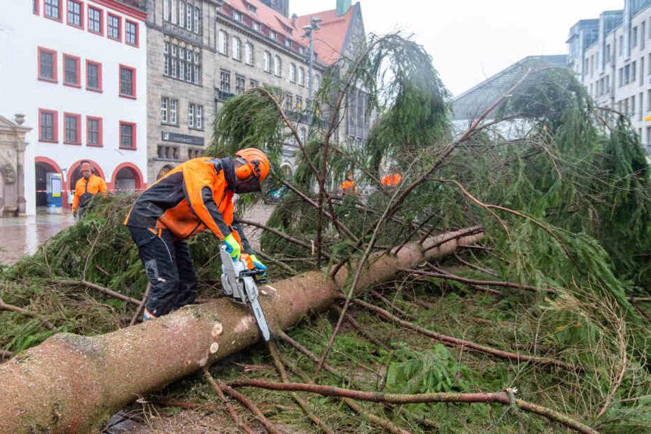 Wie schon in den Vorjahren wird der Baum nach dem Fällen zerlegt. Der Stamm wird eingelagert und das Grün in den Tierpark gebracht. (Archivbild)