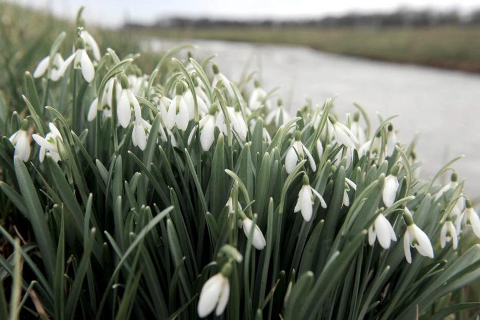 Schneeglöckche wachsen am Fluss Hunte, an dessen Ufer sich der tragische Verkehrsunfall am Montag ereignete.