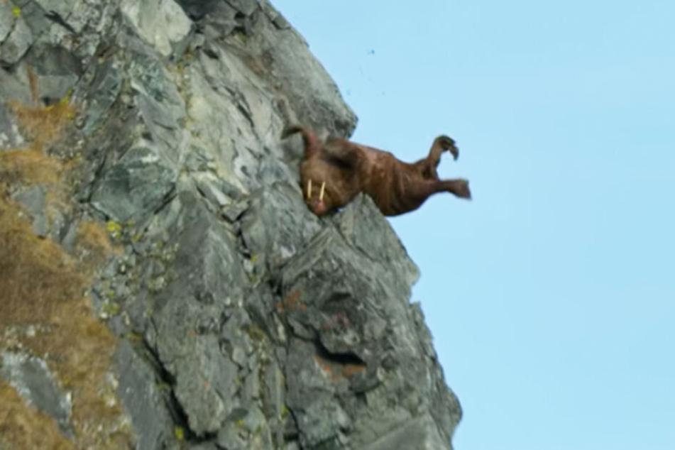 Gegen diese Szene protestieren Tierschützer: man sieht wie ein Walross an der Steilküste Russlands abstürzt.