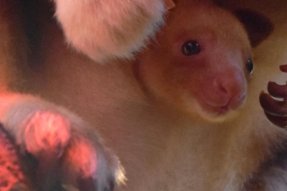 Das Baumkänguru-Baby fühlt sich in Mamas Beutel pudelwohl.