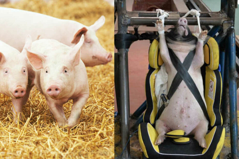 Chinesen machen Crashtests mit lebendigen Schweinen: Tierschützer gehen auf die Barrikaden
