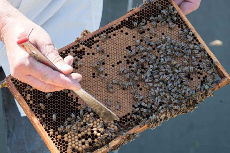 Ein Imker zeigt das Innere eines Bienenstocks. (Symbolbild.)