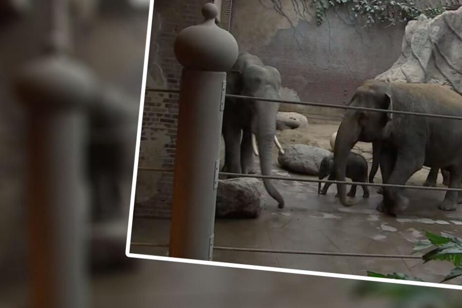 """""""Elefant, Tiger & Co."""": Hier trifft Leipzigs Babyfant erstmals seinen Papa!"""