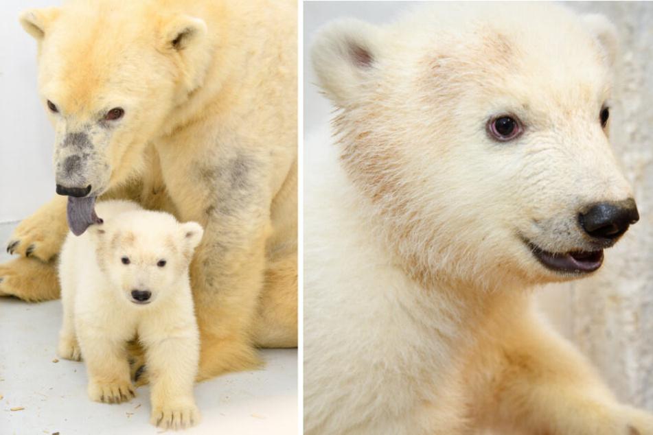 Berlins kleine Eisbärin soll am kommendem Samstag das erste Mal für Besucher im Tierpark zu sehen sein. (Bildmontage)