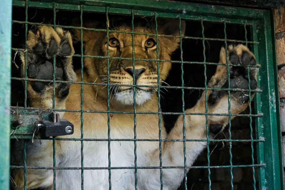 Löwe im Transporkäfig. (Symbolbild)