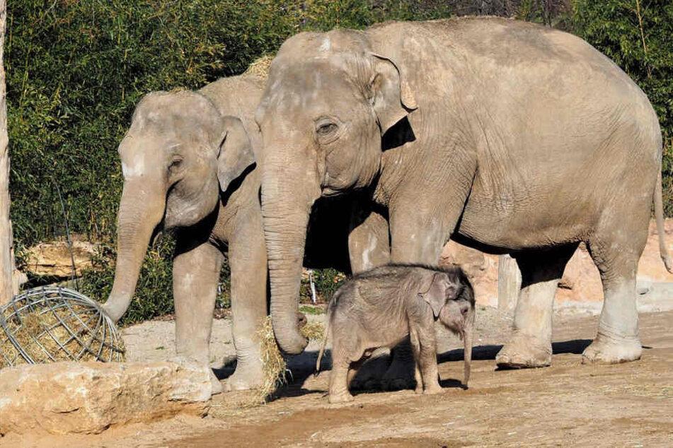 Das kleine Elefantenkalb soll von seinen Tanzen Don Chung und Rani aufgezogen werden.