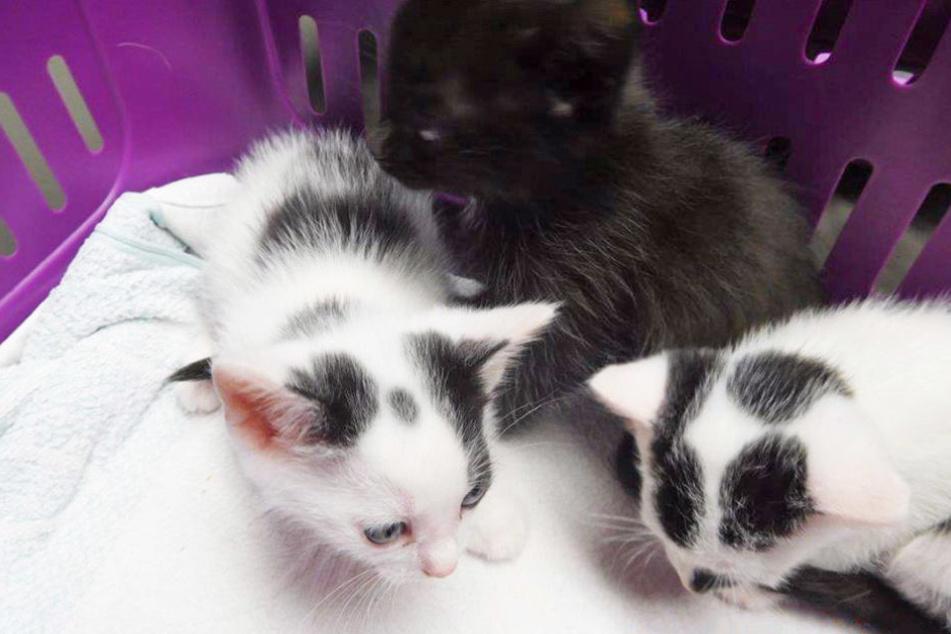 Diese drei Kätzchen sind gerade einmal zwei Monate alt und suchen ein neues Zuhause.