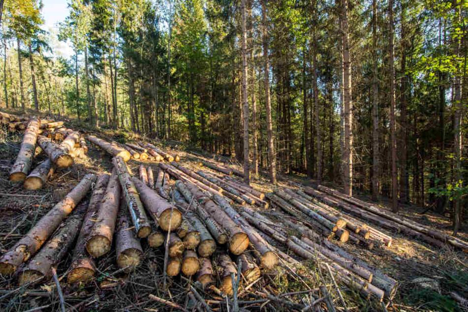 Der Borkenkäfer setzt dem hiesigen Wald extrem zu. Tausende Bäume fielen ihm zum Opfer. Mit Unterstützung der Bürger will die Stadt Augustusburg 10000 neue Eichen pflanzen.
