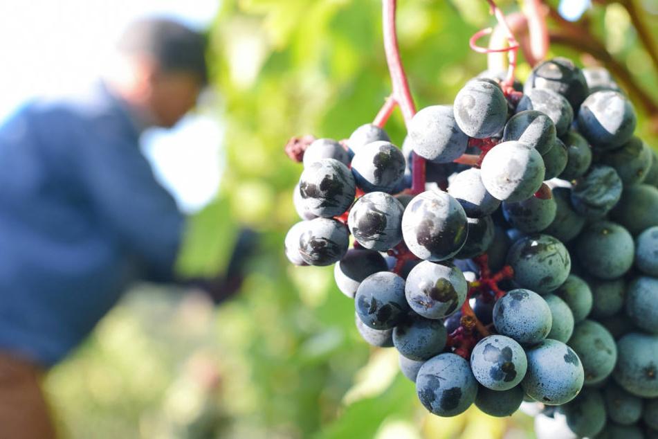 Die Weinlese beginnt in Hessen vielerorts voraussichtlich schon im August (Archivbild).