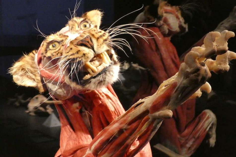 Zähne so scharf wie Rasierklingen hat dieses wilde 'Kätzchen' in der Ausstellung.