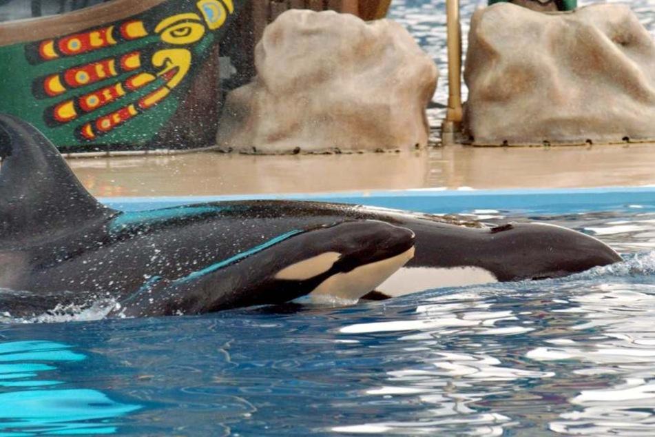 Ein Baby-Orca schwimmt kurz nach seiner Geburt neben seiner Mutter Kasatka am 21.12.2004 im Becken des Erlebnisparks.