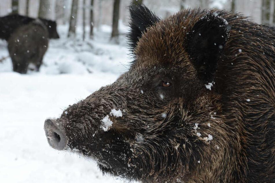 Wildschweine stehen in Stuttgart in einem Wildgehege im Schnee. Droht ihnen bald das Ende? (Archivbild)