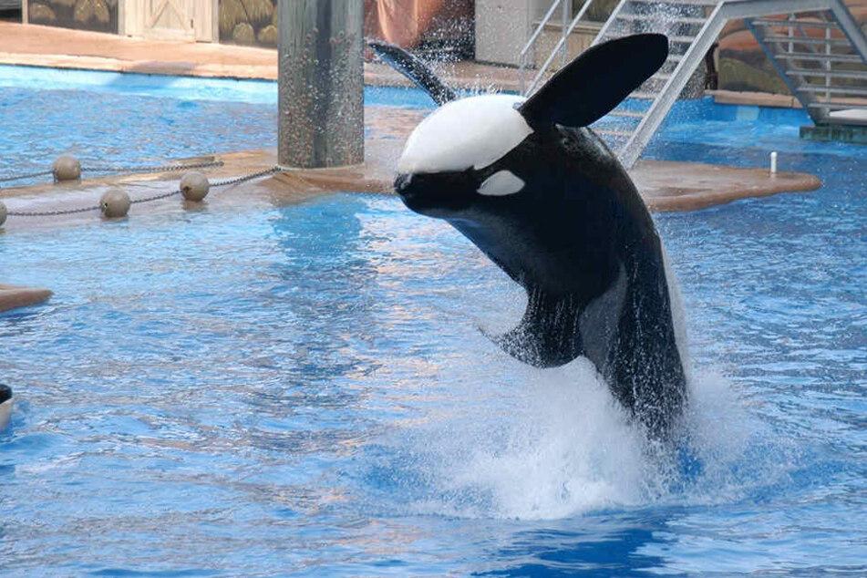 Der Killer-Wal Tilikum ist gestorben.
