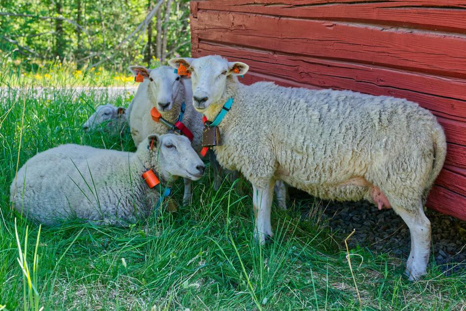Die Unschuldigkeit der Schafe nutzten die Diebe aus und entwendeten eines von ihnen direkt von der Weide. Jede Verteidigung nutzte nichts (Symbolbild).