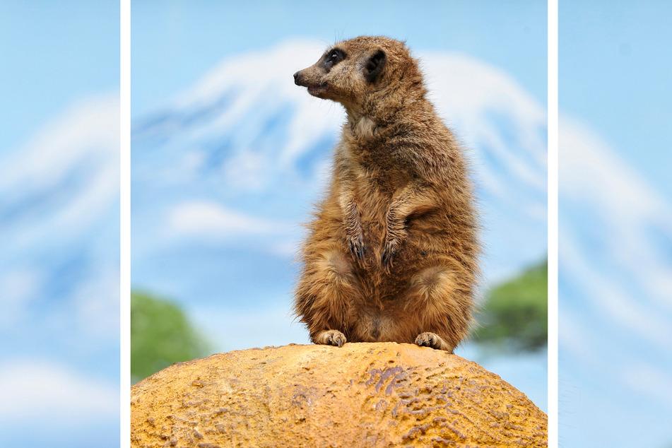 Seit zwei Jahren leben Erdmännchen im Tierpark Klingenthal. Sie sind der Besuchermagnet.