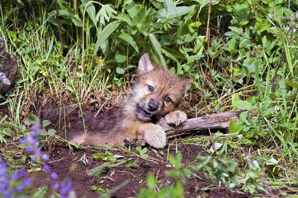 So putzig! In Sachsen steigt die Wolfspopulation stetig.