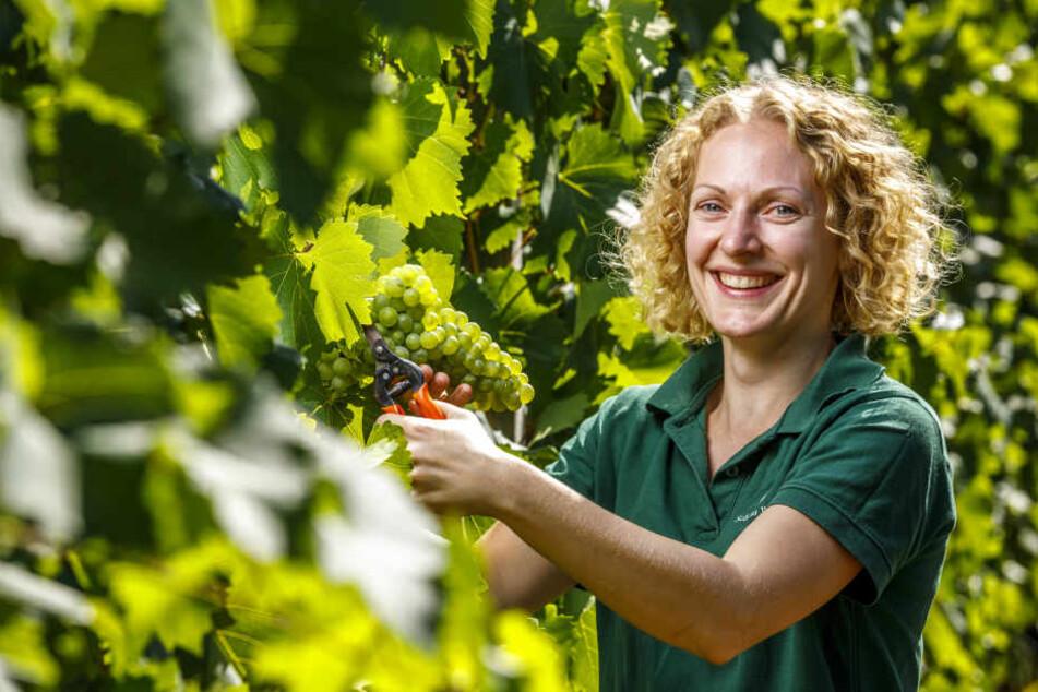 Christiane Spieler (34), stellvertretende Kellermeisterin auf Wackerbarth, hat mit ihren Kollegen bereits jetzt mit der Weinlese begonnen.